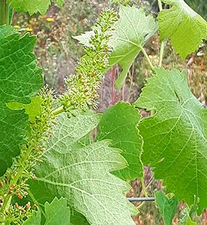 vin minervois