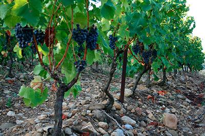 vigne saint chinian